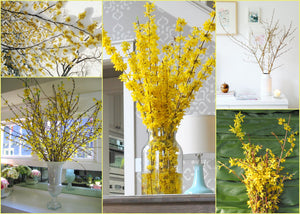 How to get FORSYTHIA BLOOMS in Winter!