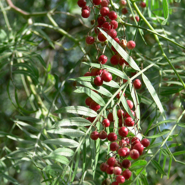Spotlight on Pink Peppercorn