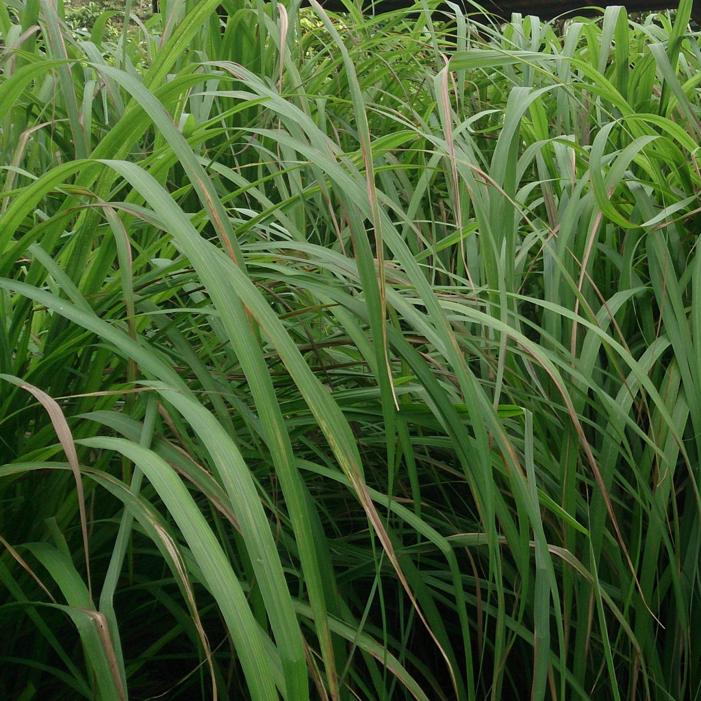 Citronella Oil - Indonesia