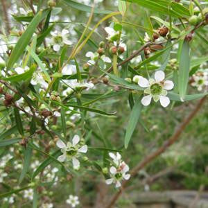 Lemon Scented Tea Tree Floral Water