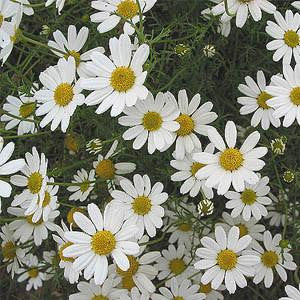 chamomile_floral_water