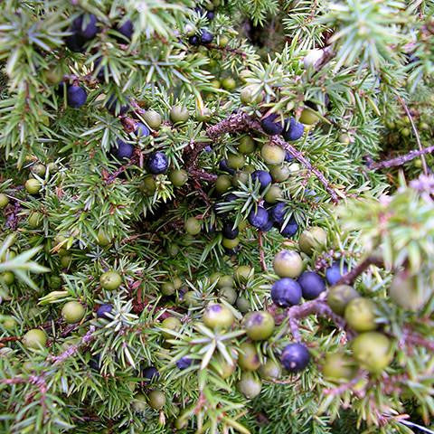 juniper_berry_oil