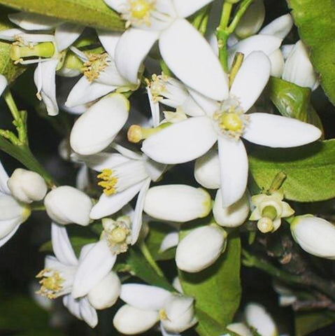 neroli_infused_jojoba