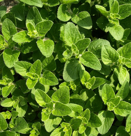 Origanum_Essential_Oil