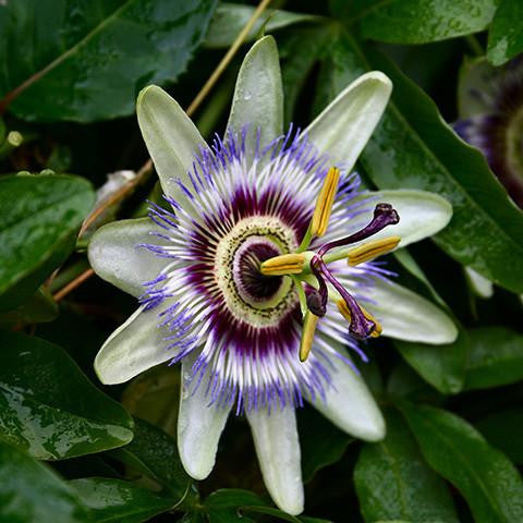 passion_flower_extract