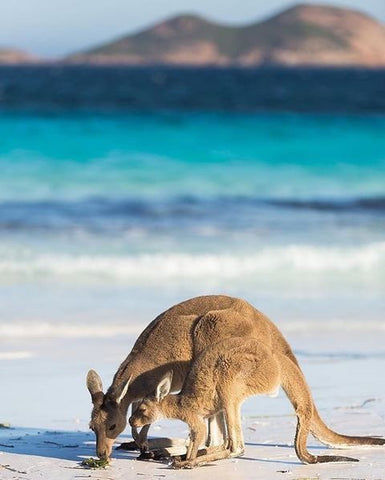 Kangaroo Mum and Joey at Lucky Bay, Western Australia