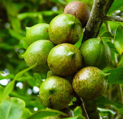 Why we use Organic Macadamia Oil in our Australian Rainforest Body Scrub | Wildlife Conservation Co