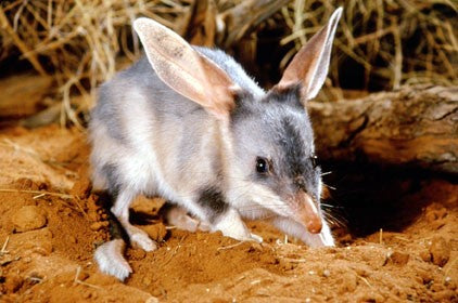 Chocolate easter bilbies organic