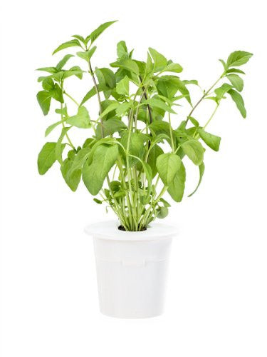 Click & Grow Thai Basil Refill for Smart Herb Garden 3-Pack - EarthCitizen  - 1