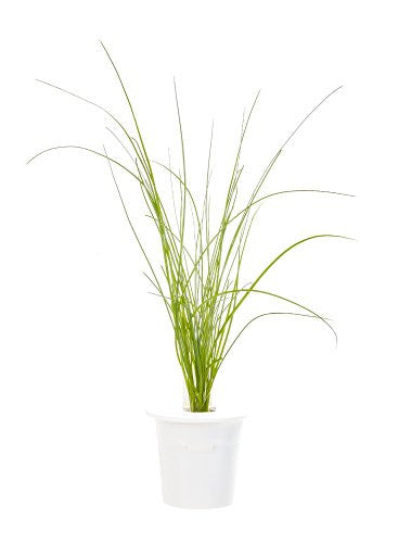 Click & Grow Chives Refill 3-Pack for Smart Herb Garden - EarthCitizen  - 1