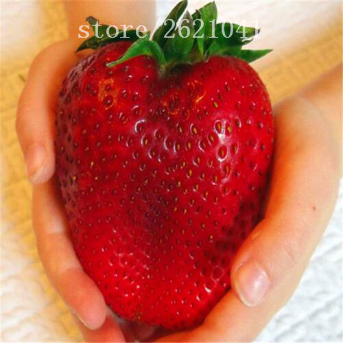 1000 PCS Big Giant Strawberry Seeds, Rare Sweet Four-season vegetable and fruit Seeds, Garden plants - Raja Indonesia