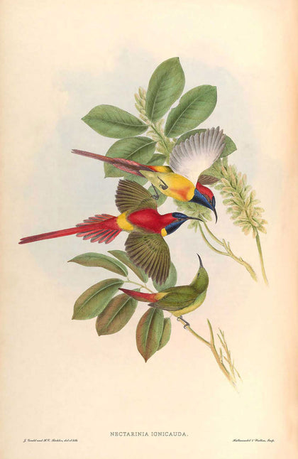 Nectarinia Ignicauda - Illustration