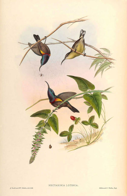Nectarinia Lotenia - Illustration