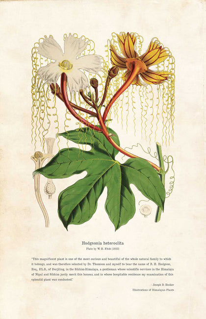 Hodgsonia Heteroclita - Illustration