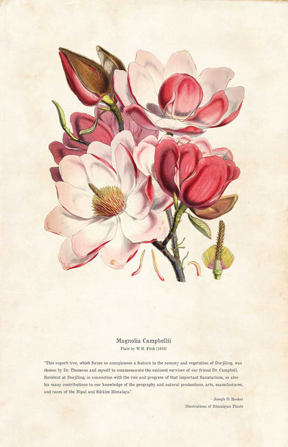 Magnolia Campbellii - Illustration