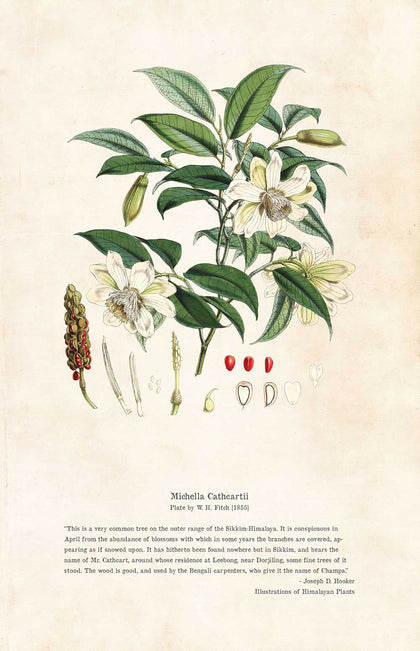 Michella Cathcartii - Illustration