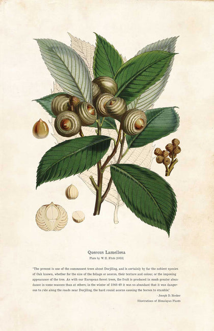 Quercus Lamellosa - Illustration
