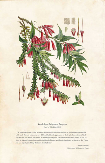 Vaccinium Salignum, Serpens - Illustration