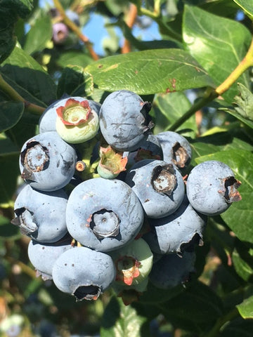 5lb. Fresh Handpicked Blueberries