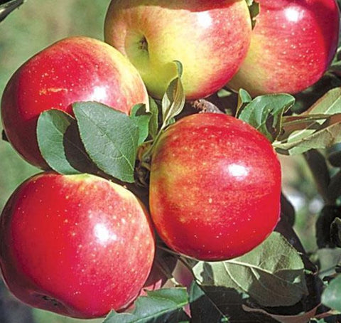 Apples - Zestar - 3 lb. bag