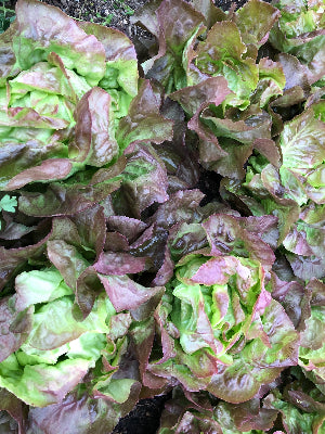 Red Butter Lettuce Head