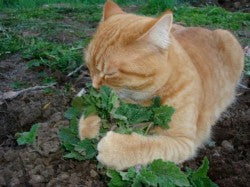 Fresh Cut Catnip for your favorite Feline