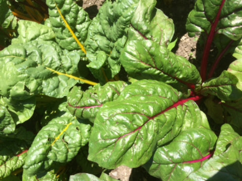 Bag o' Swiss Chard