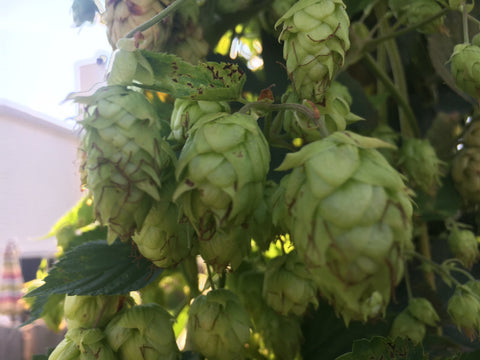 Hops- Cascade Variety (Fresh Whole Cone) 10 oz