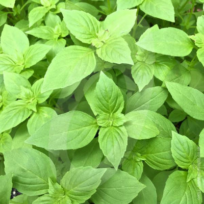 Lemon Basil - Organic (1oz.)