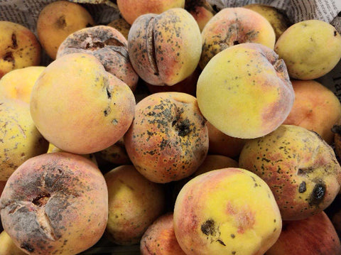 Ugly Freestone Peaches-6 total