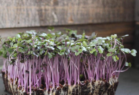 Kohlrabi living Microgreens- 2oz+