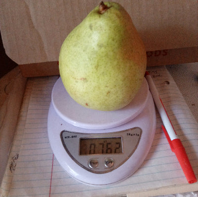 "1 BIG Pear: ""Great White""-sublime peary-licious texture and flavor-3/4 lb"