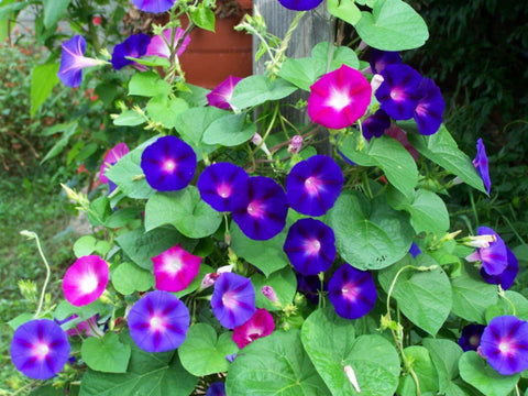 Seeds: Grandpa Ott's Morning Glory
