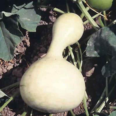 Seeds: Birdhouse Gourds