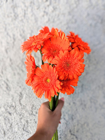 Gerbera Daisies for Clean Air