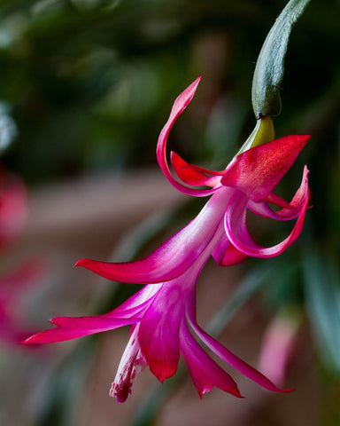 Making a Christmas Cactus Bloom More Than Once
