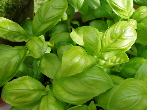 Basil for Mosquito Repellant