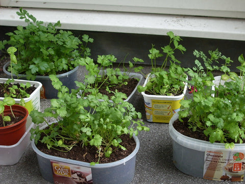 Growing the best indoor herbs