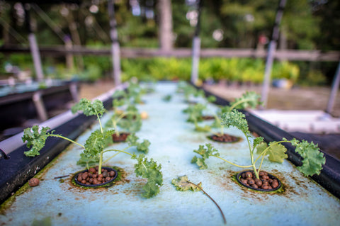 Plants in aquaponic system grown without soil