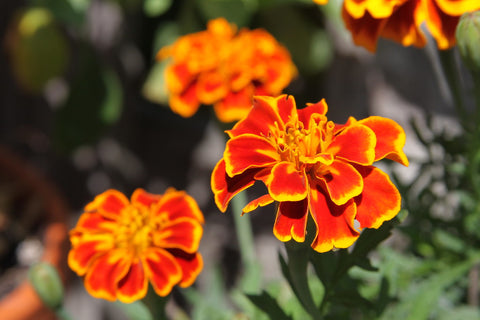 Marigolds as Mosquito Repellant