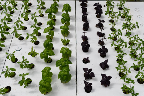 Lettuce and cabbage grown in hydroponics system and aquaponics system using garden beds