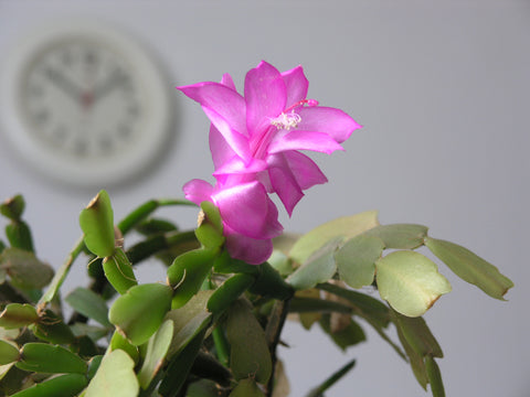 Christmas Cactus Diseases.8 Things You Need To Know About The Christmas Cactus