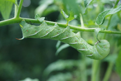 Tomato Hornworm Infestation