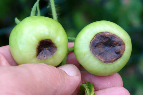 calcium deficiency blossom end rot tomatoes