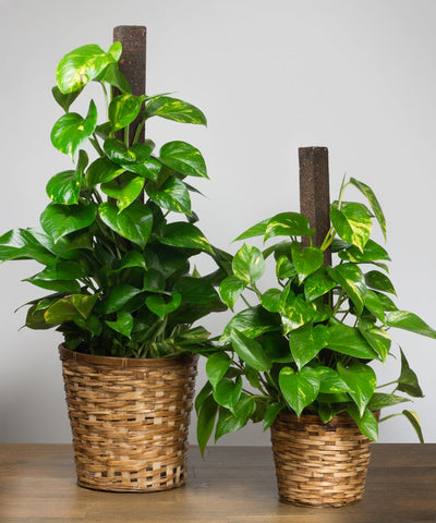 Golden Pothos for Clean Air