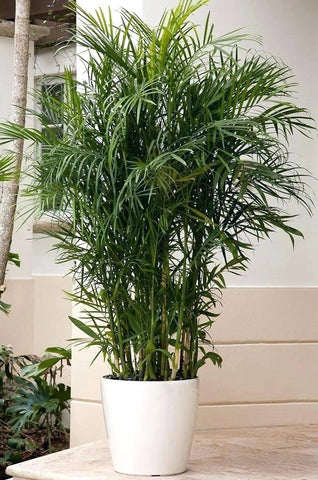 Bamboo Palm Tree for Clean Air