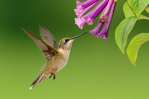 Attract Hummingbirds to Your Garden