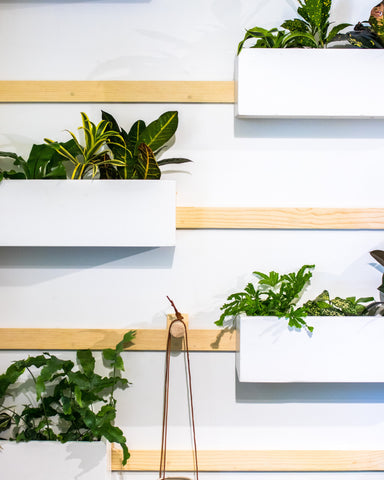 Fern Plants on shelves