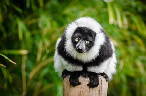 Attract Lemurs to Your Garden