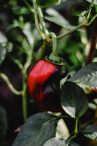 Red hot chili pepper plant